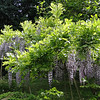 Wisteria floribunda 'Burford'<br /> This Wisteria was introduced by John Treasure & named for the property on which it grows Burford in the English Midlands.  It is thought to be a W. sinensis X W. floribunda hybrid. It's not the fastest cultivar to begin flowering but the wait is worth it!