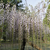 Wisteria floribunda 'Macrobortys'<br /> Forms of Wisteria floribunda with extra long racemes have been selected in Japan for over 400 years. Many of these forms were given names based on the region they were selected from. Today it's unclear how many of these forms are still distinct cultivars & how many are the same cultivar under different names. The most common of these forms outside Japan is 'Macrobotrys'. It takes a year or 2 longer to begin flowering and in the early years the racemes wont be overly long but as the plant matures they will become more & more spectacular.