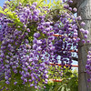 Wisteria floribunda 'Black Dragon'<br> syn. Wisteria floribunda 'Violacea Plena'<br> Many years ago we received our original 'Violacea Plena' plant from Woodlanders Nursery. Our original 'Black Dragon' came from Duncan & Davies in New Zealand. In his book <i>Wisteria</i> Peter Valder says that they are synonymous.   Weather they are or not I don't know but if there are differences they are slight. This photo is of the Duncan & Davies 'Black Dragon' clone.