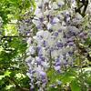 Wisteria floribunda 'Burford' This Wisteria was introduced by John Treasure & named for the property on which it grows Burford in the English Midlands.  It is thought to be a W. sinensis X W. floribunda hybrid. It's not the fastest cultivar to begin flowering but the wait is worth it!