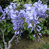 Wisteria 'Caroline'<br /> This New Zealand cultivar is well known for flowering at a young age, often in it's first year after grafting. This one is rather pot bound though after living in this pot for more than 10 years ;^)..