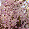 Wisteria floribunda 'Honbeni'<br /> Syn. Wisteria floribunda 'Pink Ice'<br /> There are several pink flowering forms on the market & both names & clones are often mixed up. We have settled on this one clone for now & believe the Cultivar 'Pink Ice' is synonymous with it. USDA Zones: 5 - 8