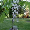 Wisteria floribunda 'Anwen'<br /> Selected & named for our daughter Anwen