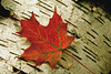 Maple leaf on birch