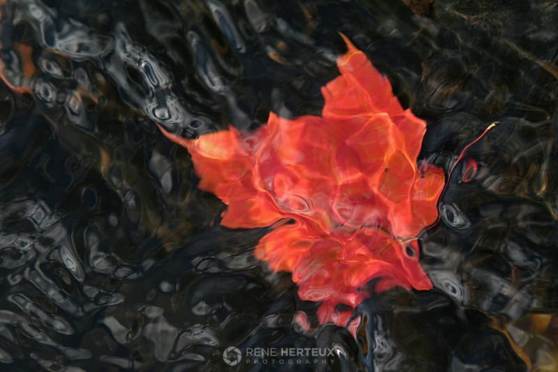 Sunken maple leaf in stream