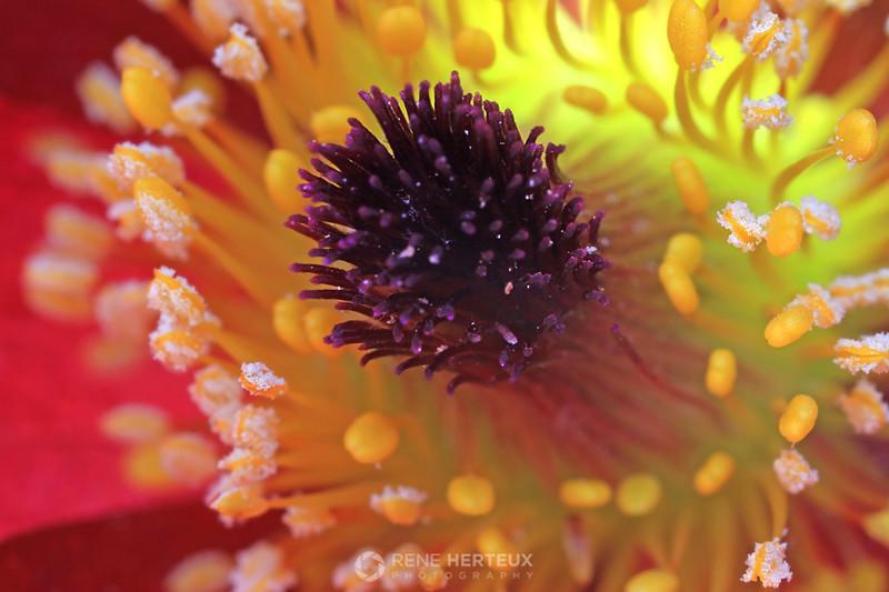 Pasque flower macro