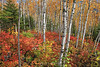 Birch forest ablaze 3