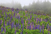 Lupines in fog