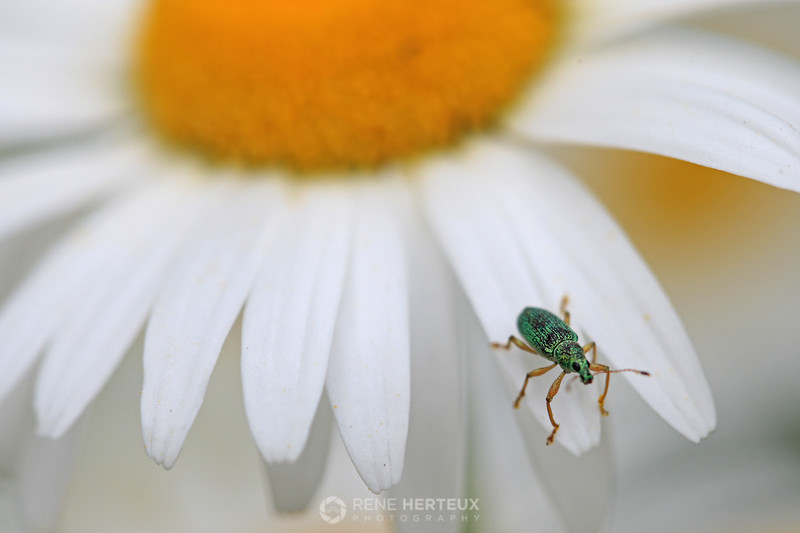 Green beetle on daisy