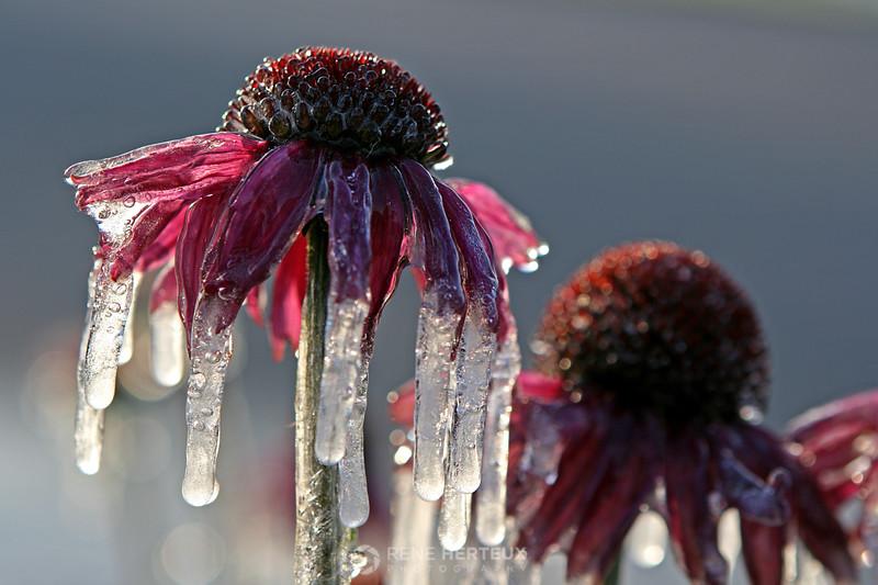 Frozen coneflowers