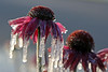 Frozen coneflowers