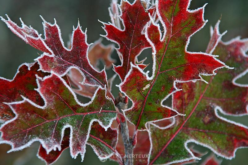 Frosty edged oak leaves