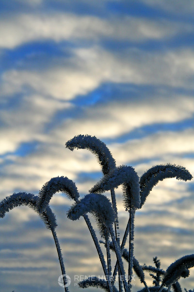 Hoar frost on weeds