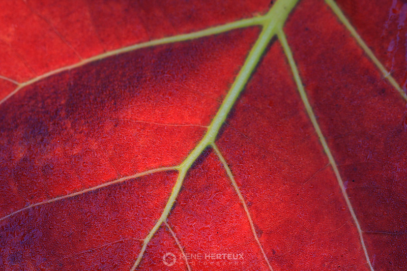 Backlit sea grape leaf