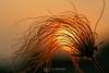 Prairie smoke in sunset