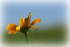 Summertime coreopsis