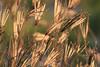 Backlit beach grass
