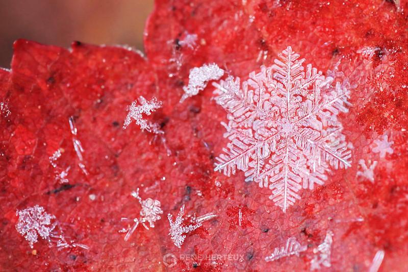 Snowflake on maple