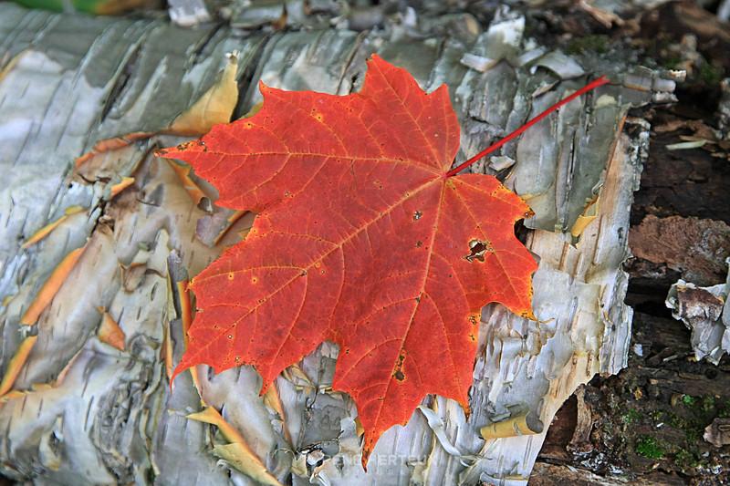 Maple leaf on birch