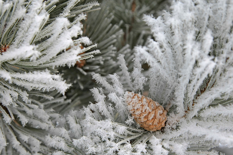 Frosty pine cones