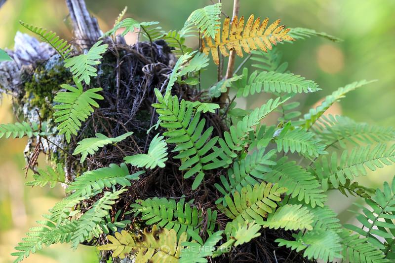Cypress ferns