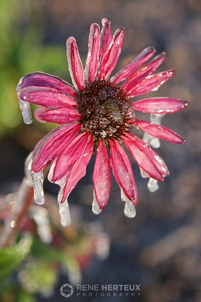 Frozen coneflower