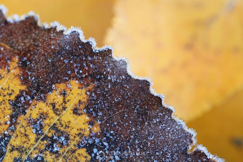 Frosty aspen leaf
