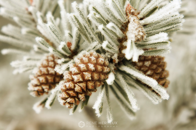 Frosty pinecones