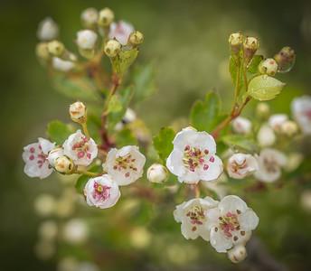 Hawthorn blossom poss I31107.jpg