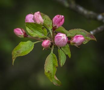 Crab apple blossom poss 31080.jpg