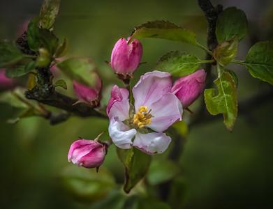 Crab apple blossom poss31078.jpg