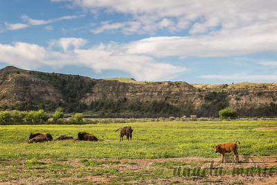 Bison Relaxing - Theodore Roosevelt National Park