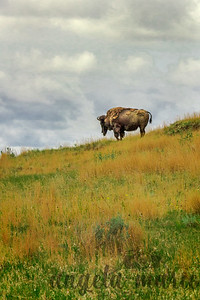 Bison in a Sea of Green and Gold