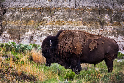 Bison closeup in the North Dakota Badlands, Theodore Roosevelt National Park