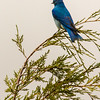 Mountain Bluebird in Theodore Roosevelt National Park, ND