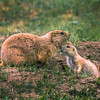 Mama and baby prairie dogs at Theodore Roosevelt National Park, ND