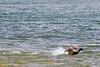 Landing Mallard Duck