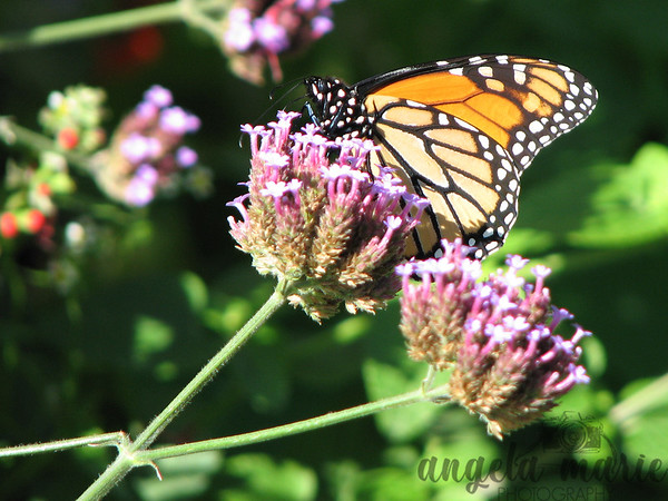 Monarch resting on flowers