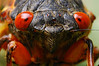 Periodical Cicadas (17 year cycle)