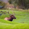 Bull Elk Enjoying a Green Golf Course