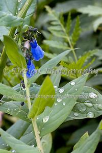 Blue Lanceleaf Chiming Bells