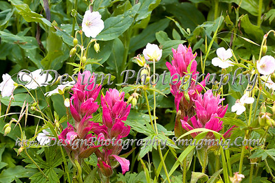 Paintbrushes and Wild Geraniums