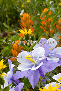 Columbines in Front of a Field of Flowers