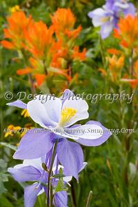 Columbine in a Field of Flowers