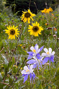 Columbines with a few Pseudo Sunflowers