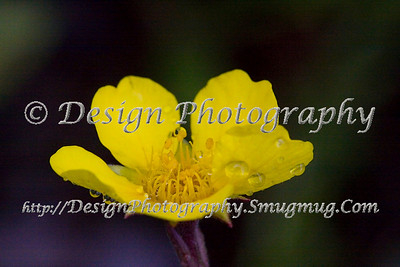 Lone Yellow Flower with Dew