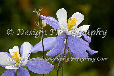 A Pair of Columbines