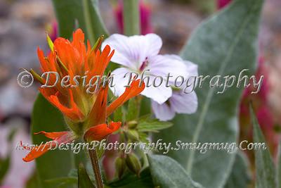 Indian Paintbrush with a Wild Geranium