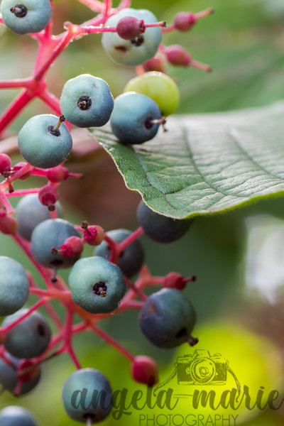Berries at Pattison State Park in Wisconsin