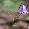 Water drops on a bluebell at Gooseberry Falls State Park in Minnesota
